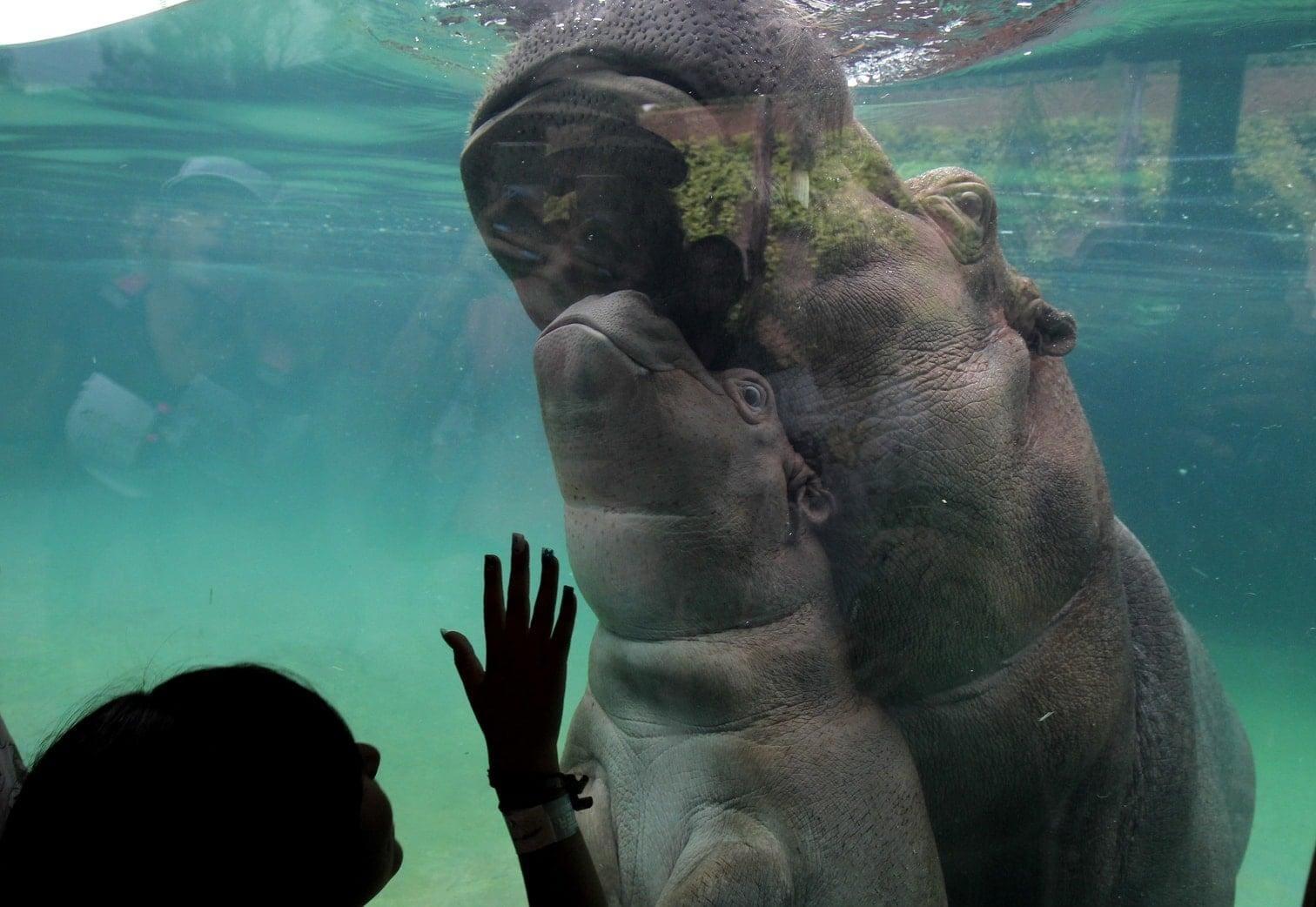 <p>Beto heißt das jüngste Nilpferd aus Mexiko.</p> Foto: AFP