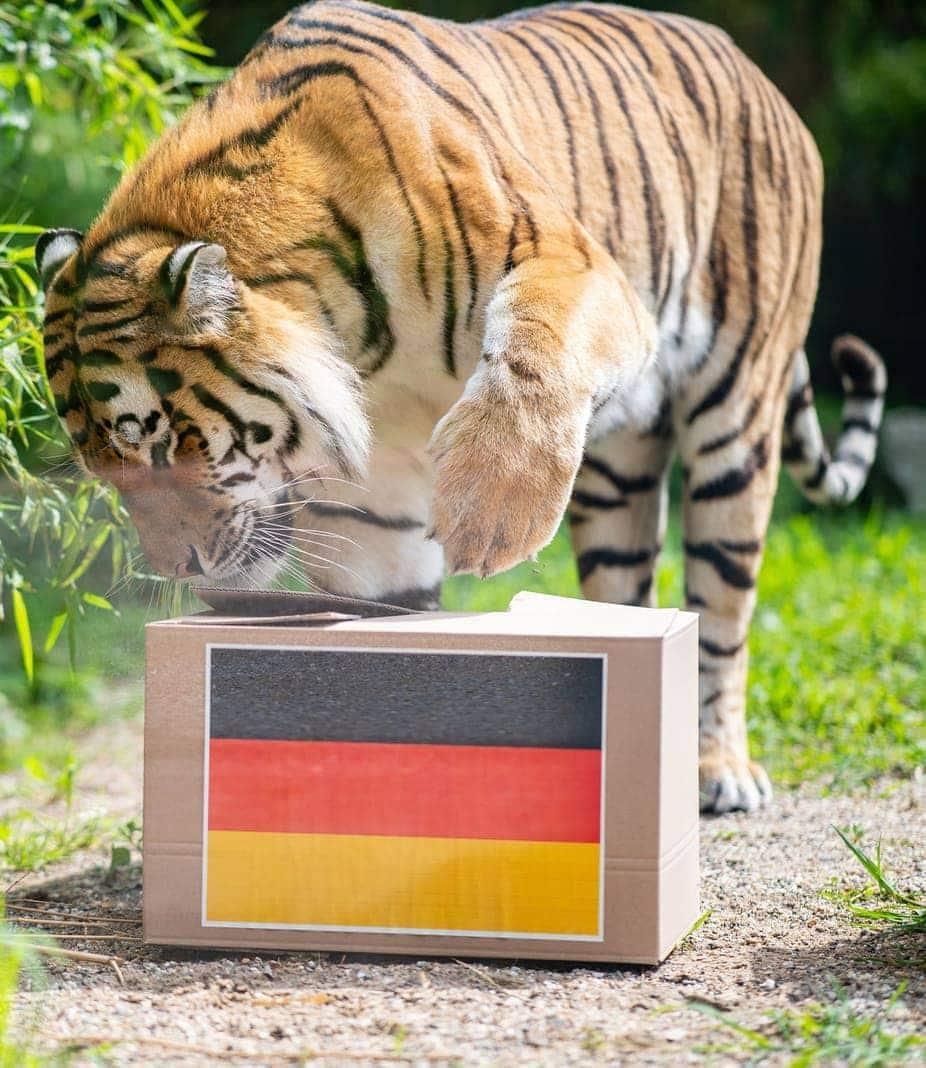 <p>Münster: Der Tiger