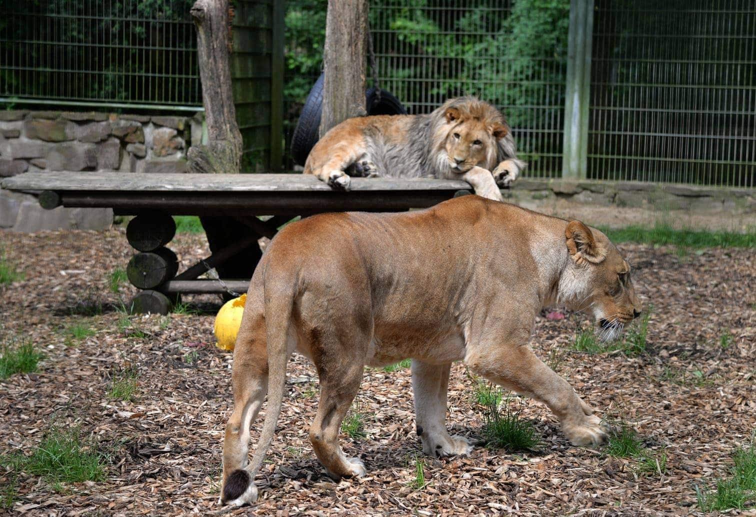 Löwen Eifel-Zoo