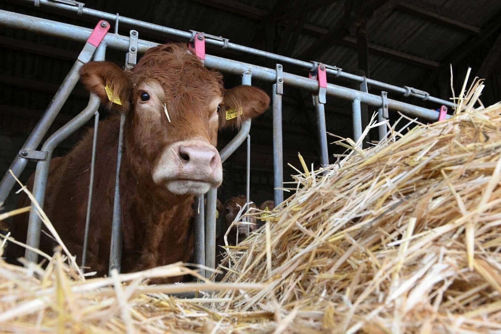 Rindvieh Kuh Stroh Stall