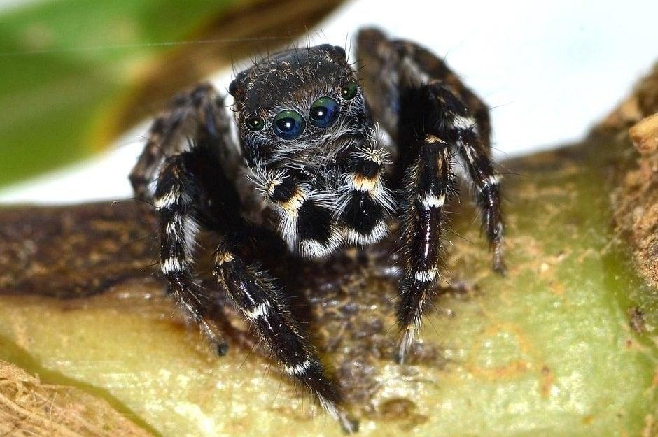 Spinne nach Karl Lagerfeld benannt Jotus karllagerfeldi