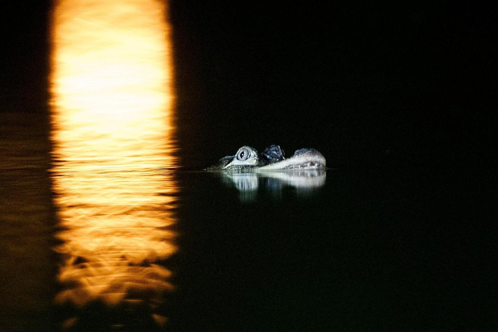 Alligator Humboldt Park Lagune Chicago