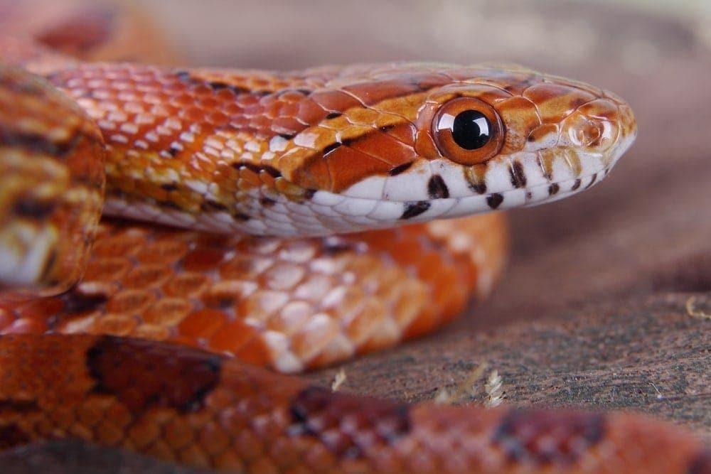 Kornnatter Schlange