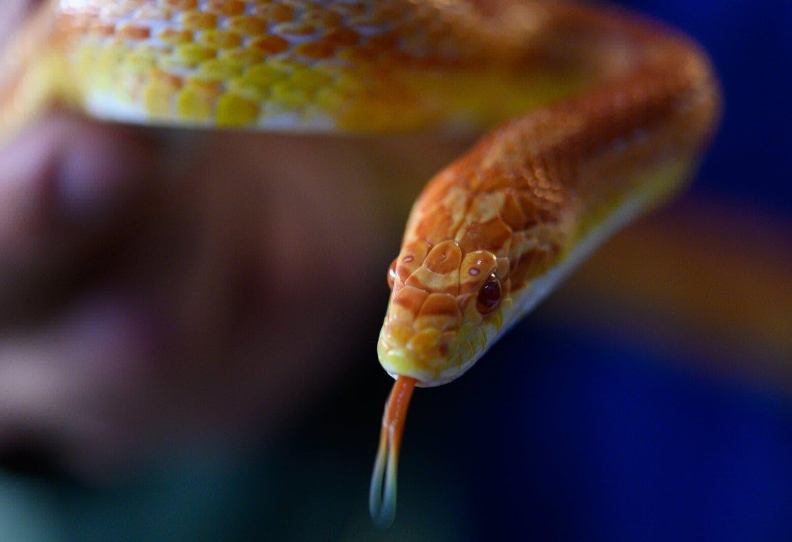 Kornnater Schlange