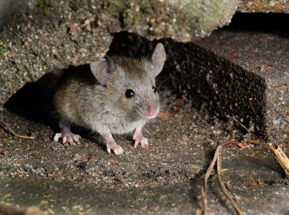 Mann will Mäuse mit Buttersäure bekämpfen – Warum das keine gute Idee ist