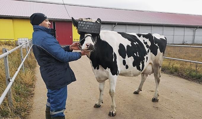 Kuh mit VR-Brille