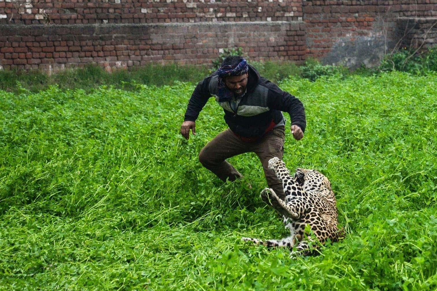 <p>Ein Leopard hat bei einem Streifzug durch ein Wohngebiet der nordindischen Stadt Jalandhar vier Menschen verletzt.</p> Foto: AFP/Shammi Mehra
