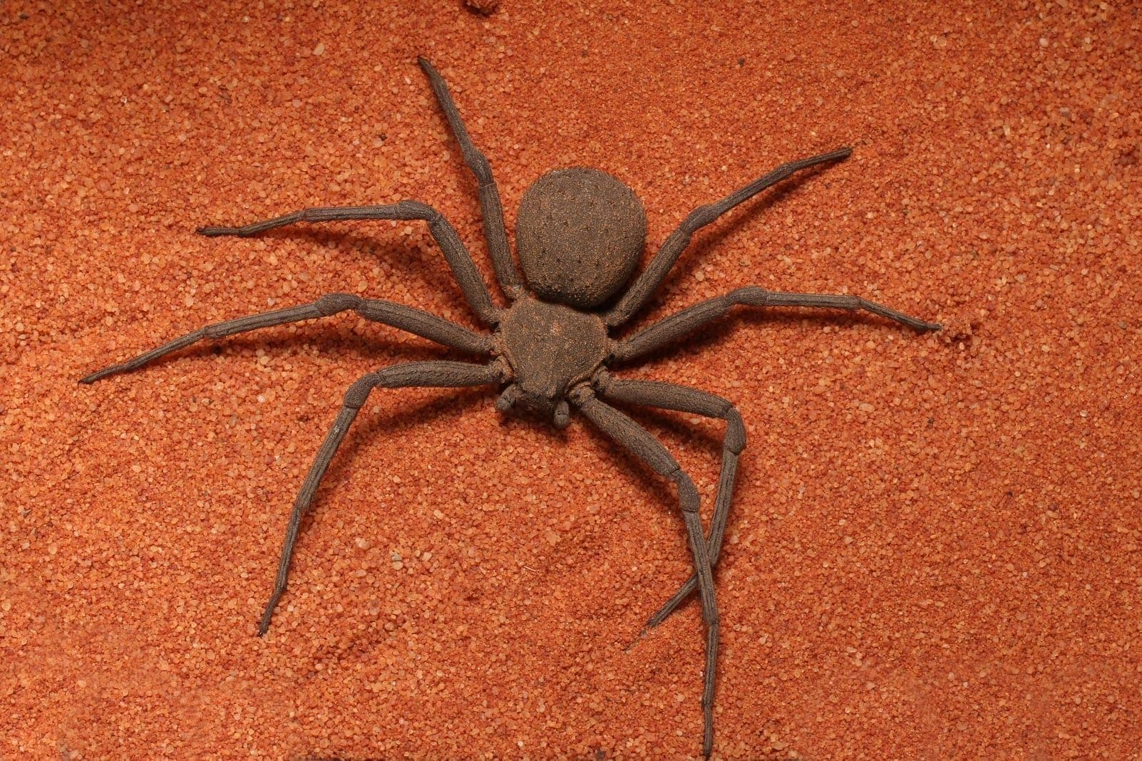 six-eyed Sand Spider