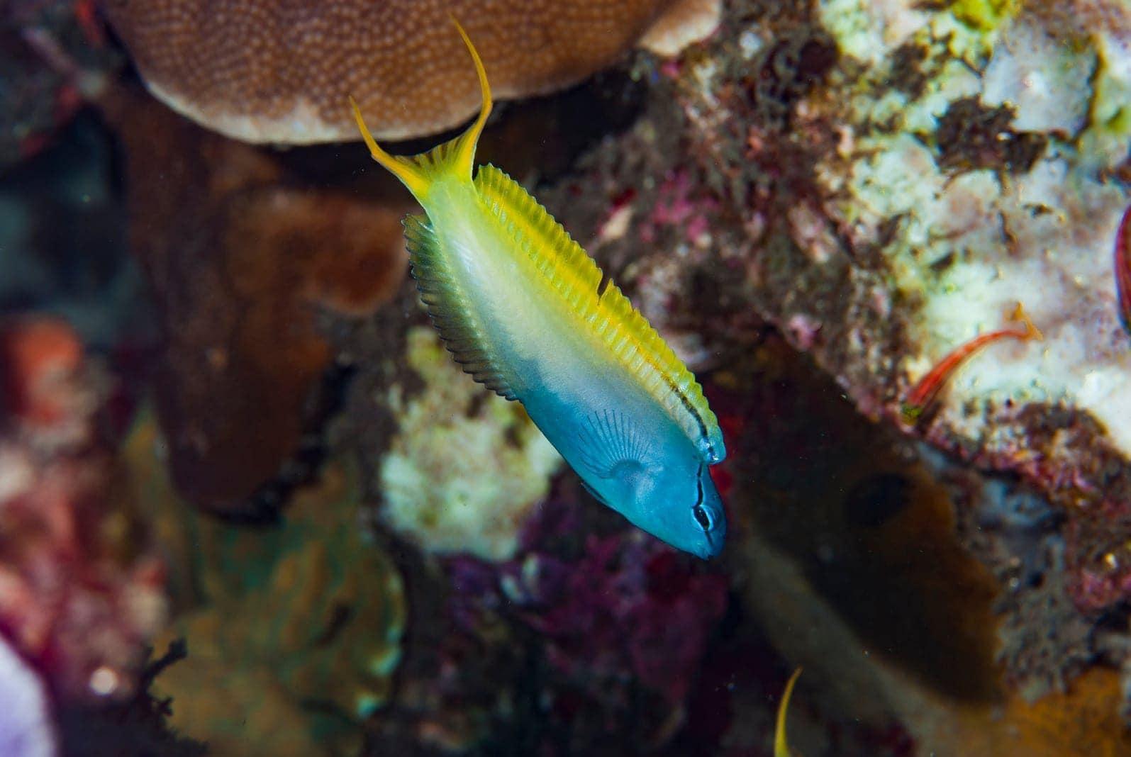 Säbelzahnschleimfisch