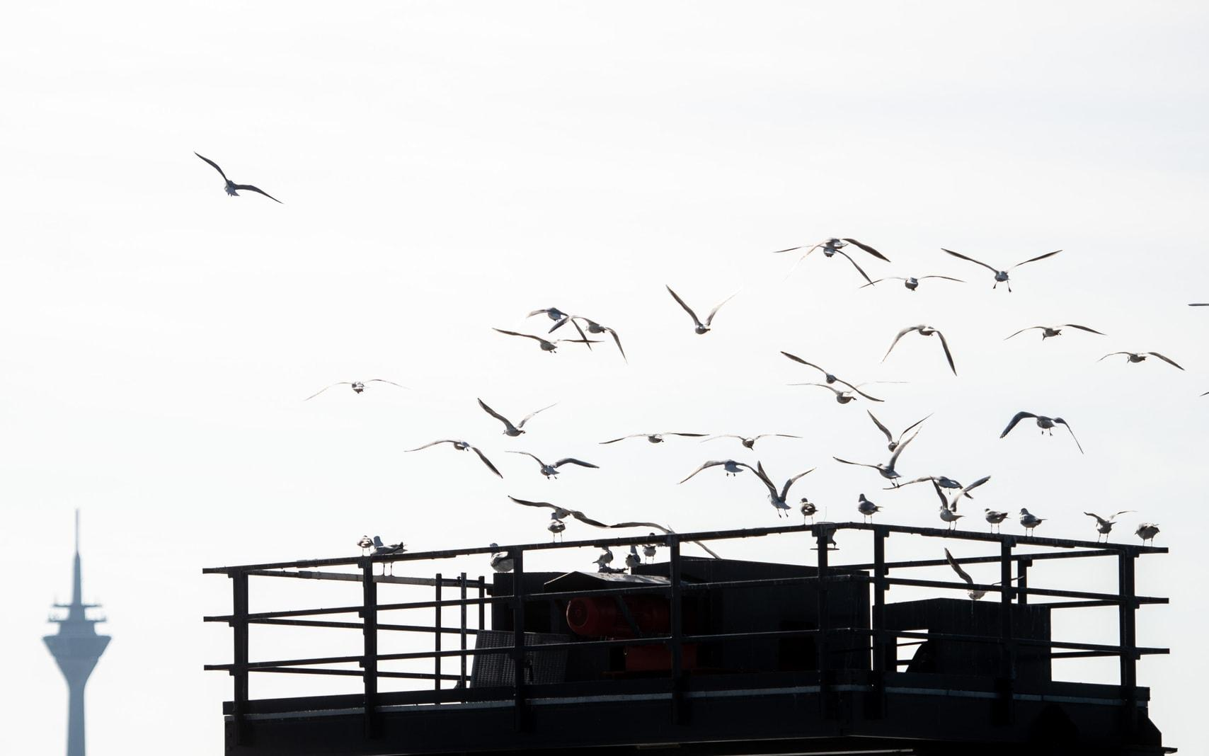 Düsseldorf Vögel Rheinturm