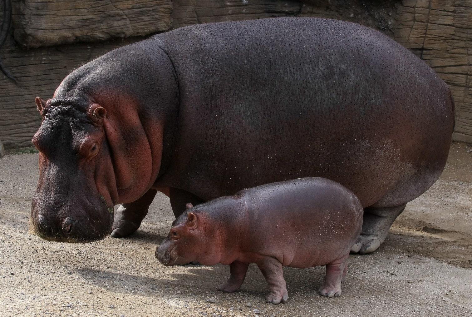 <p>Beto ist der neue Publikumsliebling des Zoos.</p> Foto: AFP