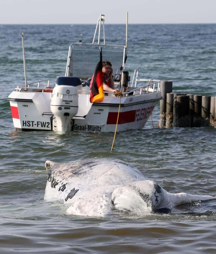 <p>Einsatzkräfte von Deutscher Lebens-Rettungs-Gesellschaft und Feuerwehr schleppten den Kadaver demnach mit einem Boot an Land.</p> Foto: dpa