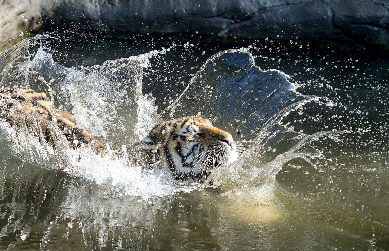 hat sich Hagenbecks Tierpark in seinem Gehege einen mit Fleisch gefüllten Kürbis gesichert.</p> Foto: dpa/Axel Heimken