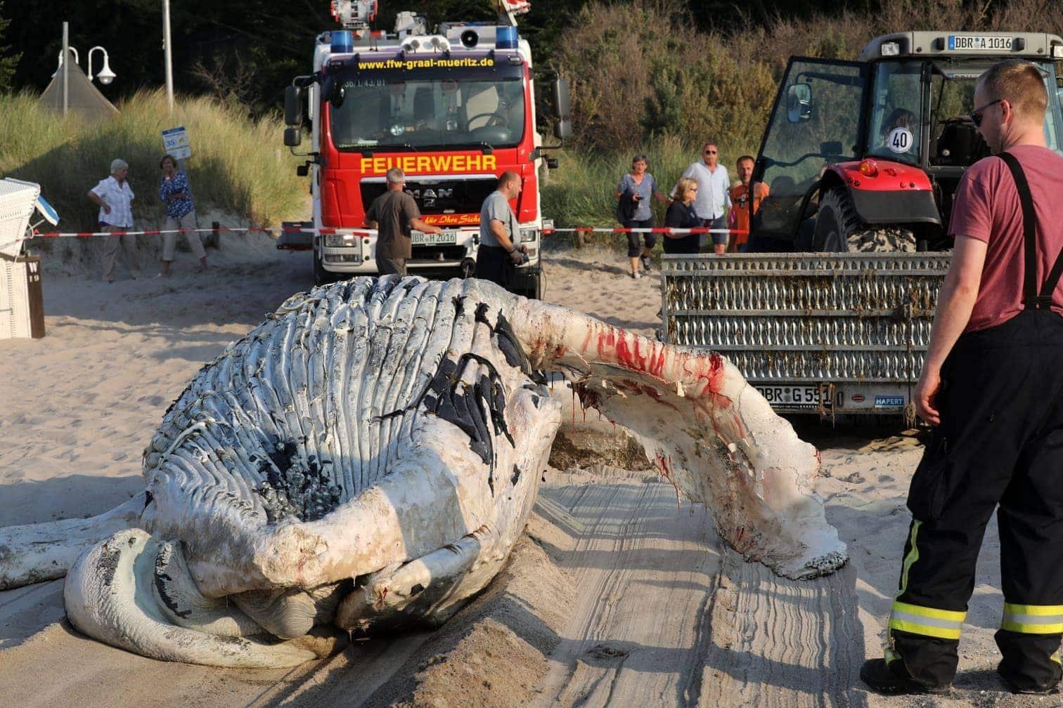 <p>Mit Traktoren und Feuerwehrfahrzeugen wurde der Wal den Strand hinaufgezogen.</p> Foto: dpa