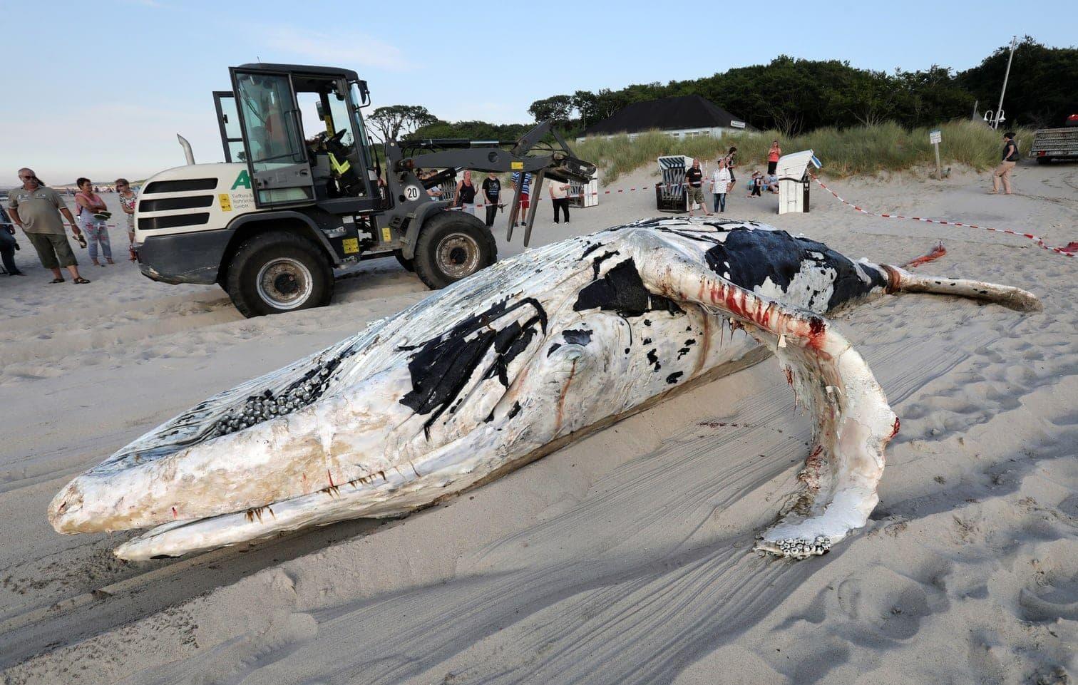 <p>Ein mehr als acht Meter langer Buckelwal ist in Mecklenburg-Vorpommern tot aus der Ostsee gezogen worden.</p> Foto: dpa