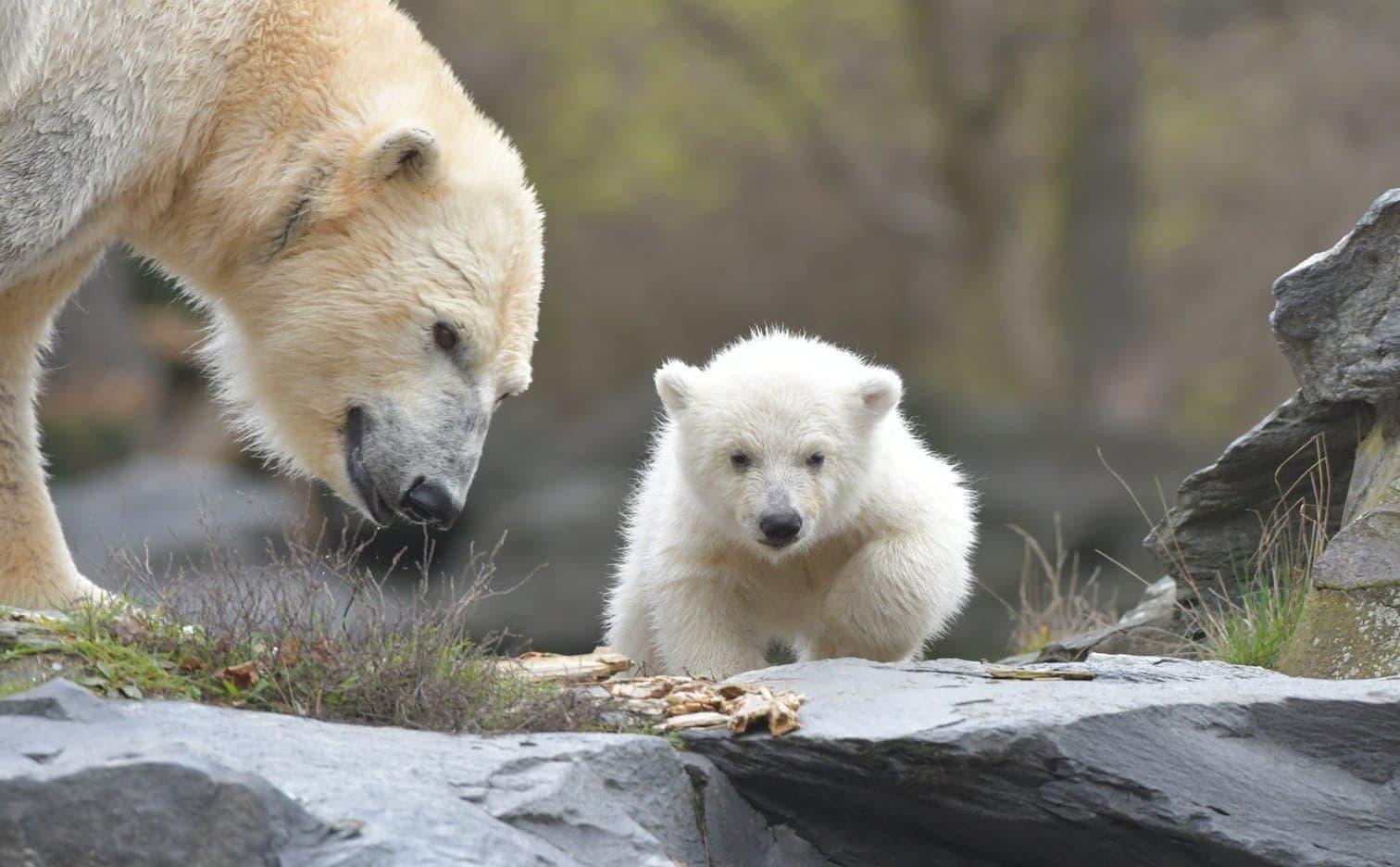 Berliner Eisbär Baby Tappst Draußen Umher Und Fällt Auf Die Nase