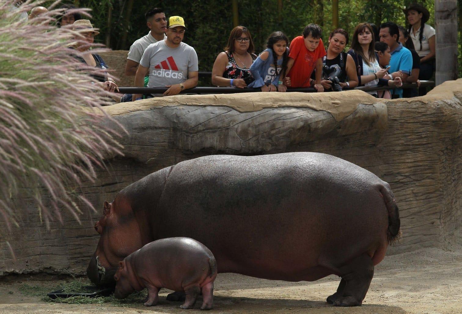 <p>Mutter Gina brachte das 56 Kilogrammschwere Nilpferd-Baby am 28. Mai in Guadalajara zur Welt.</p> Foto: AFP