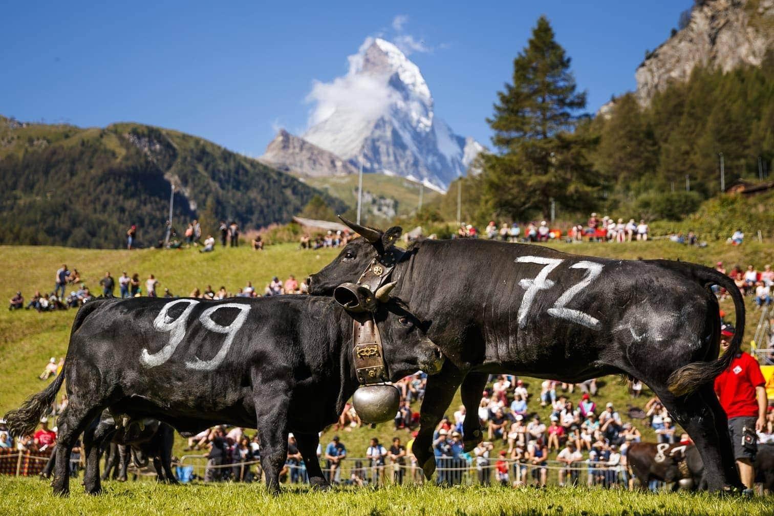 untereinander um eine Hierarchie innerhalb der Herde zu kämpfen.</p> Foto: dpa