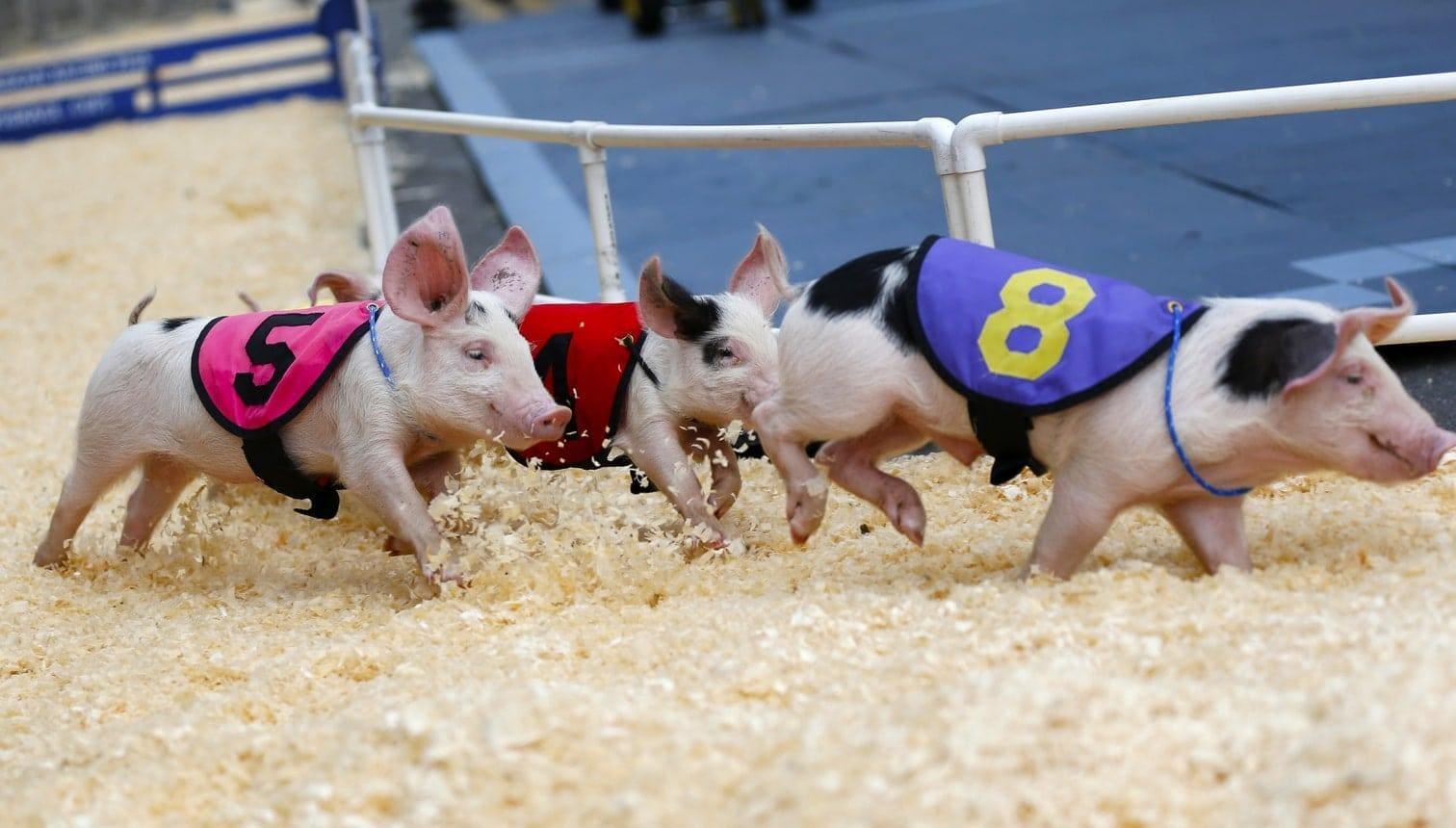<p>Schweine laufen im Outfit und im Stil von Rennpferden um ein Oval.</p> Foto: dpa/Li Ying