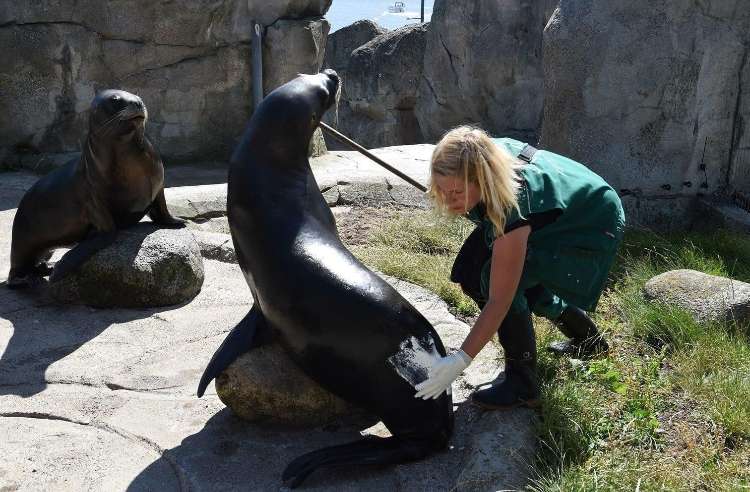 """dann weiß die südamerikanische Seelöwin Babbi im Bremerhavener """"Zoo am Meer"""" schon"""