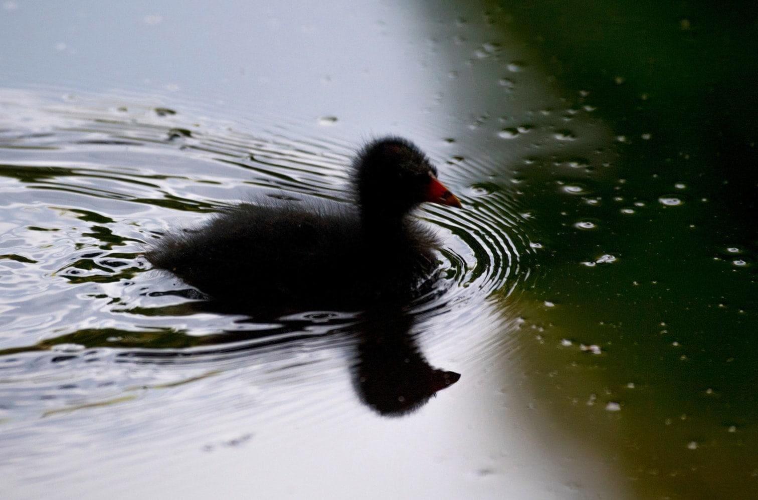 <p>Außer Fischen soll er artgeschützte Küken von Teichhühnern und Stockenten gefressen haben.</p> Foto: dpa