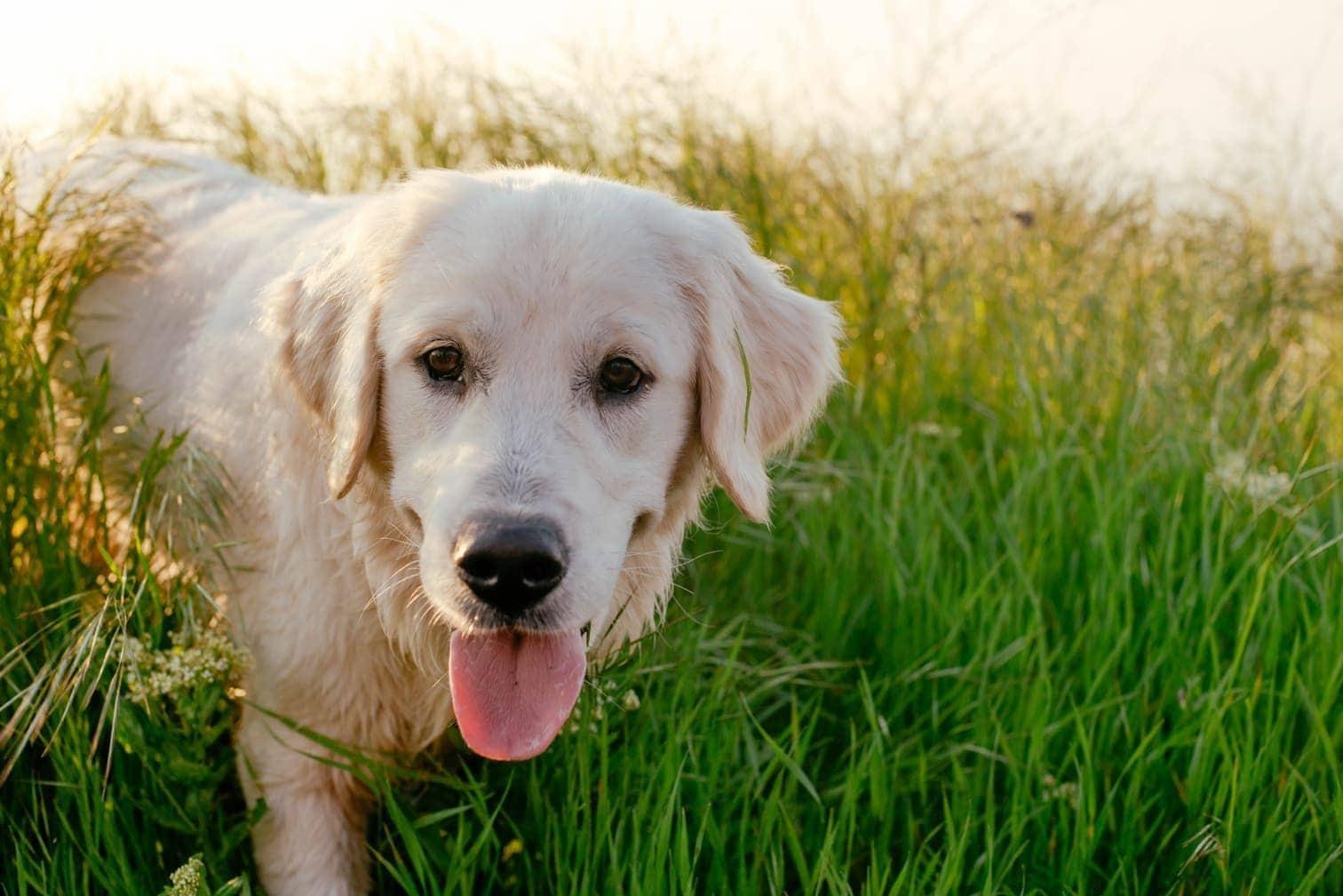 Herrchen Ist Längst Tot Sein Treuer Labrador Wartet Vor Krankenhaus