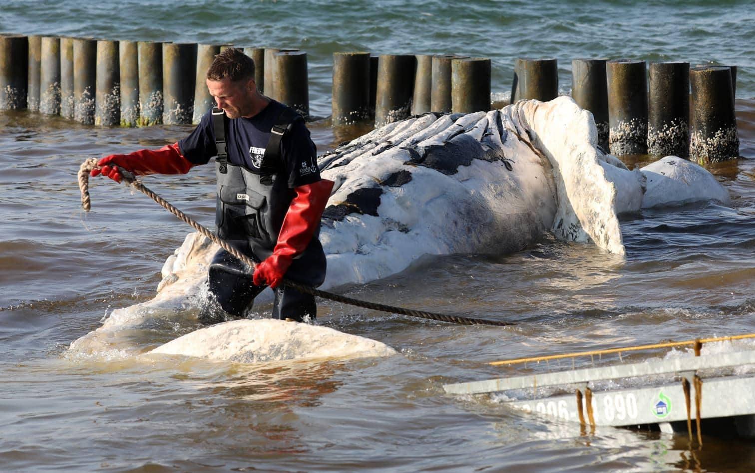 <p>Normalerweise leben Buckelwale im Atlantik</p> Foto: dpa