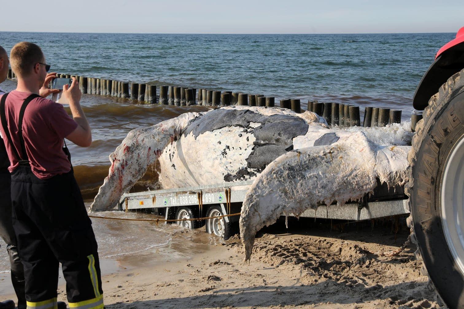 dass der Buckelwal seit gut einer Woche tot ist.</p> Foto: dpa