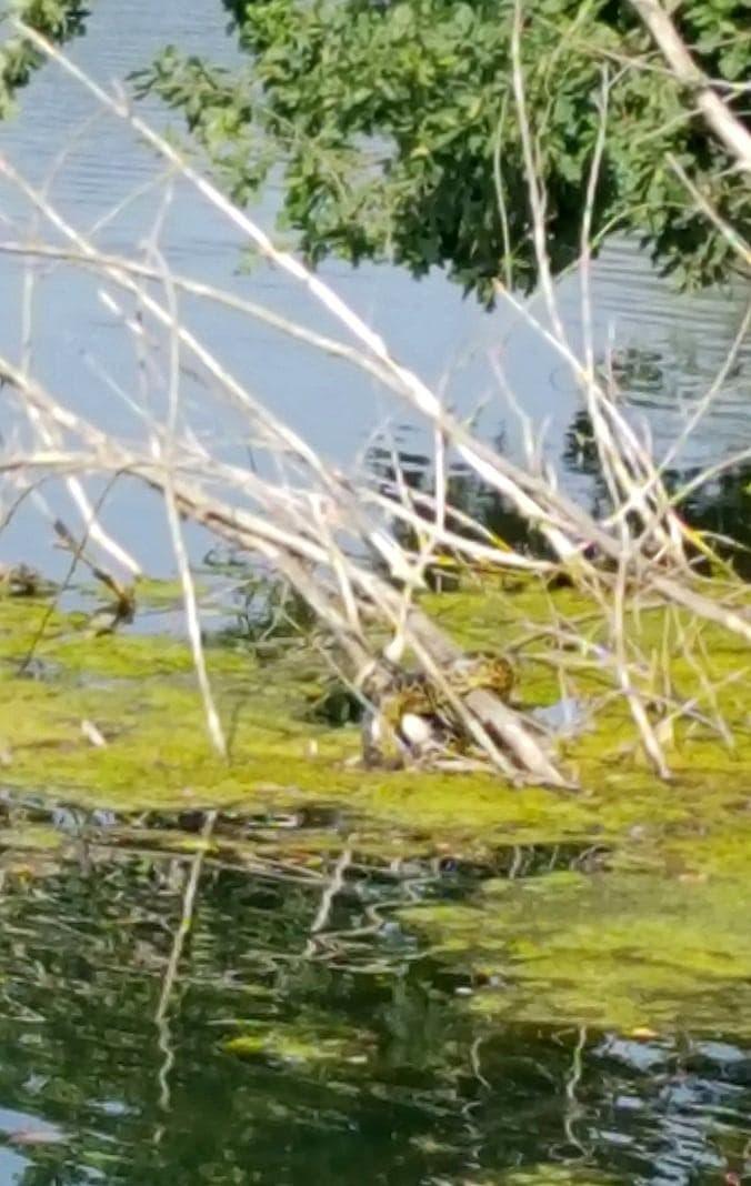 <p>Experten hätten die von mehreren Personen gesichtete Schlange anhand von Fotos als Gelbe Anakonda identifiziert