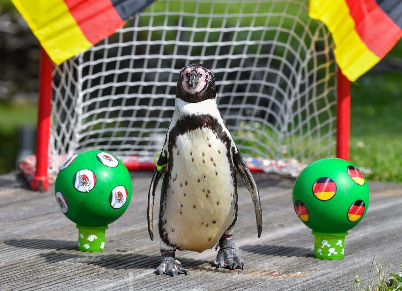 <p>Durchwachsenes Omen aus Brandenburg: Der Humboldt-Pinguin